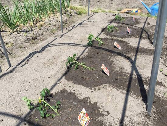トマト苗の定植(斜め植え)