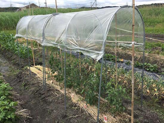 トマトの雨よけ屋根設置