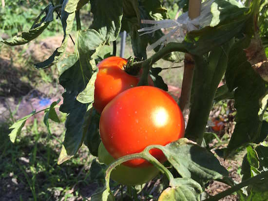 赤く熟したぜいたくトマト
