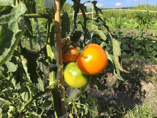 オレンジ色に熟したぜいたくトマトゴールド