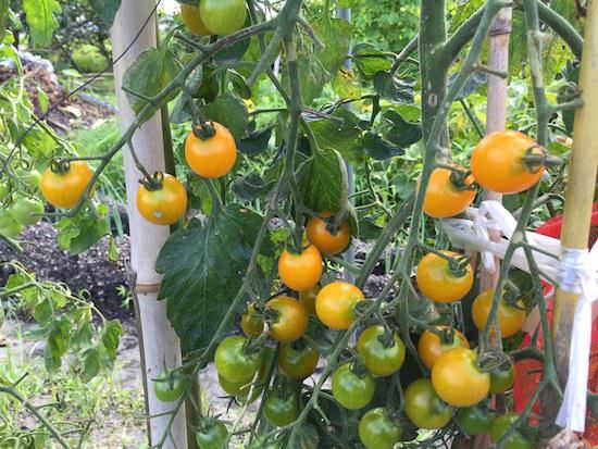 黄色に熟したフルーツイエローEX