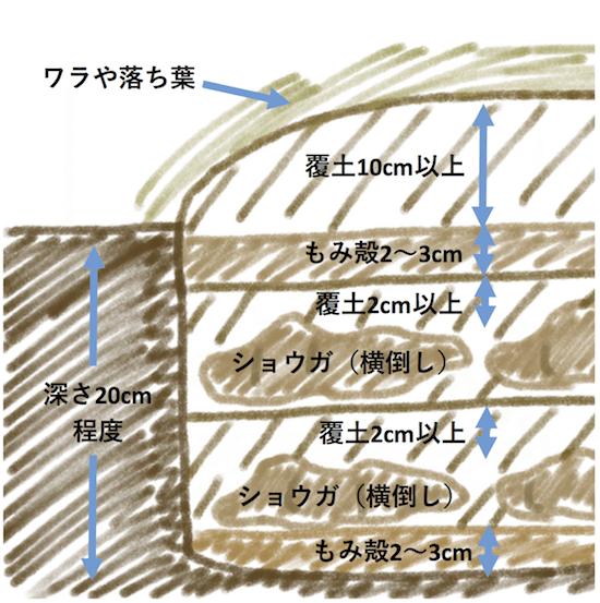 ショウガを土に埋めて保存する方法