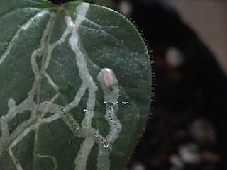 オクラの葉を食害するマメハモグリバエ