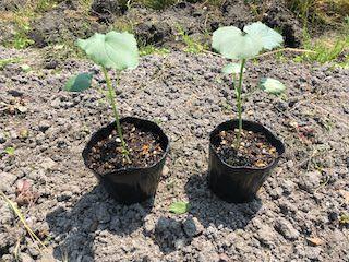 植え付けサイズのオクラ苗