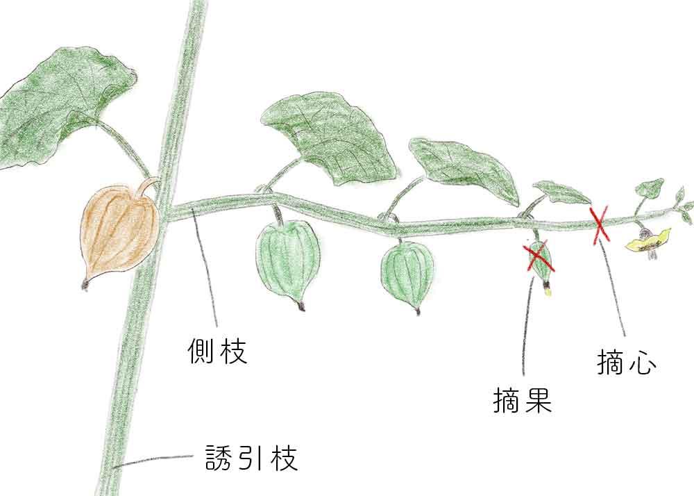食用ホオズキの整枝・摘果・摘心
