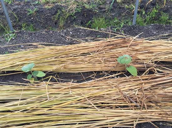 食用ほおずき(ストロベリートマト)の植え付け