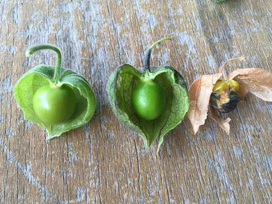 食用ほおずきの収穫適期