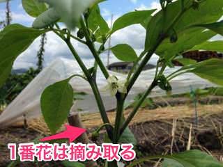 ピーマンの一番花は摘み取る