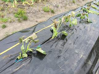 サツマイモ苗の植え付け
