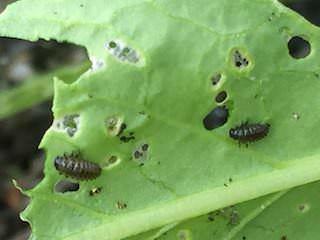 ミズナを食害するダイコンハムシの幼虫