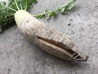 ダイコンの裂根(割れ果)