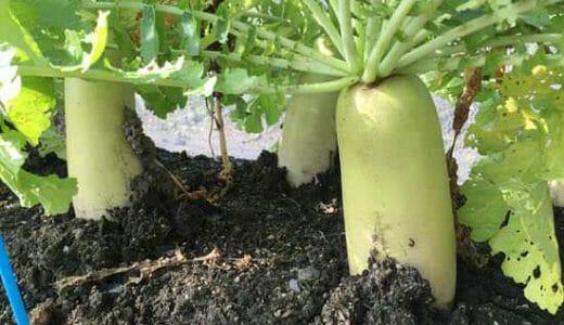 ダイコン(大根)の栽培方法・育て方のコツ
