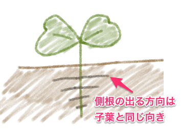 ダイコンの側根は子葉と同じ向きに出る