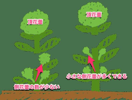 ブロッコリーの採り方で側花蕾の数と大きさが決まる