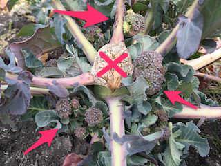 ブロッコリーのわき芽にできた側花蕾