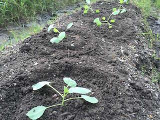 畑にキャベツ苗の定植
