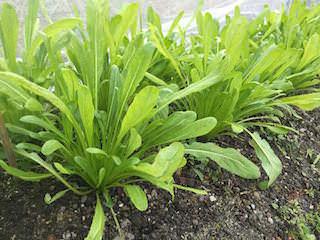 収穫期のミブナ(壬生菜)