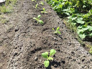 ハクサイ苗の植え付け