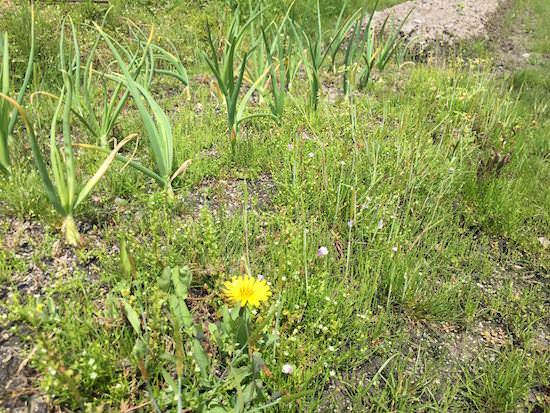 畑に茂った雑草