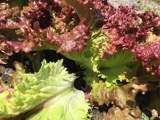 リーフレタスの外葉を摘み取って収穫