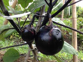 ナス(茄子)の栽培方法・育て方のコツ | やまむファーム