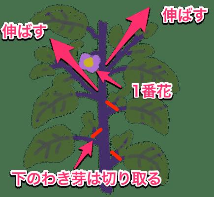 ナスの整枝(一番花の下のわき芽はかき取る)