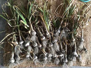 収穫したニンニクは数日乾かす