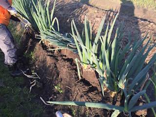 長ネギ(白ネギ・根深ネギ)の収穫作業