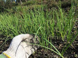 定植期のタマネギ苗