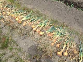 収穫したタマネギを畑で乾燥