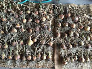 収穫したタマネギを乾燥させる