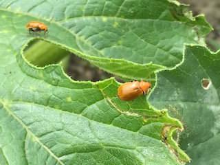 ズッキーニの葉についているウリハムシ