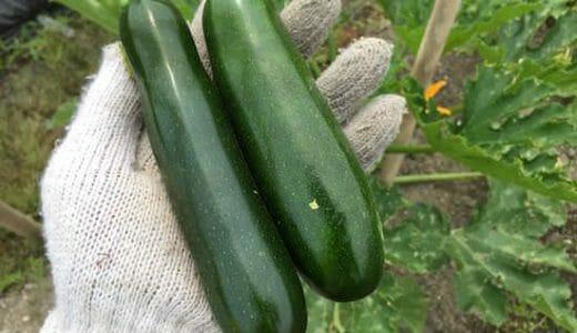 ズッキーニの栽培方法・育て方のコツ