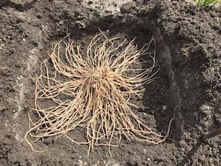 アスパラガス苗の植え付け