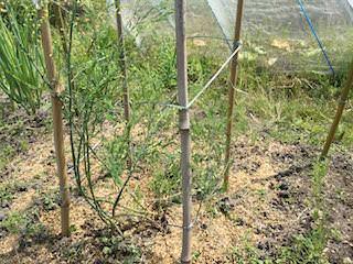 アスパラガスを支柱とヒモで囲む
