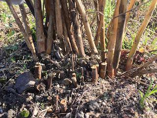 枯れたアスパラガスは12月に刈り取る