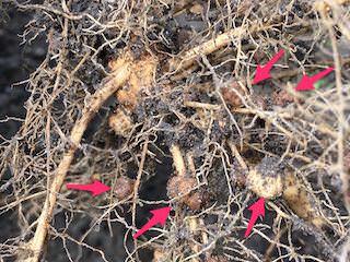 マメ科の根に付いている根粒菌