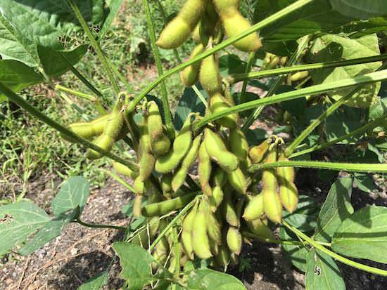 エダマメ(枝豆)栽培