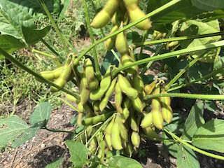 実が膨らんで収穫期のエダマメ