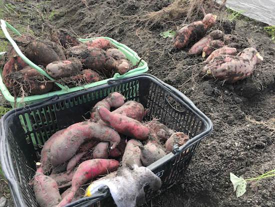 サツマイモ(安納芋と紅はるか)の収穫