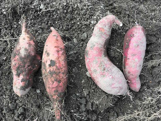 収穫した安納芋と紅はるか