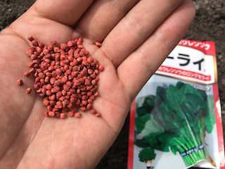 ホウレンソウのネーキッド種子
