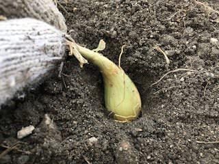ラッキョウの種球を芽を上にして植える