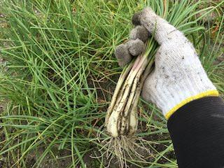 若採りラッキョウのエシャレット収穫