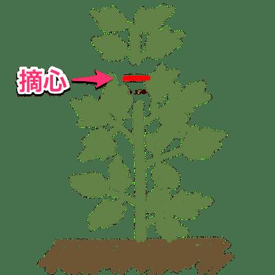 シュンギクの主枝の先端を摘心する