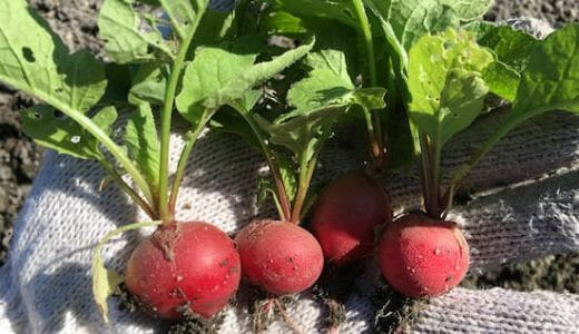 ラディッシュの栽培方法・育て方のコツ