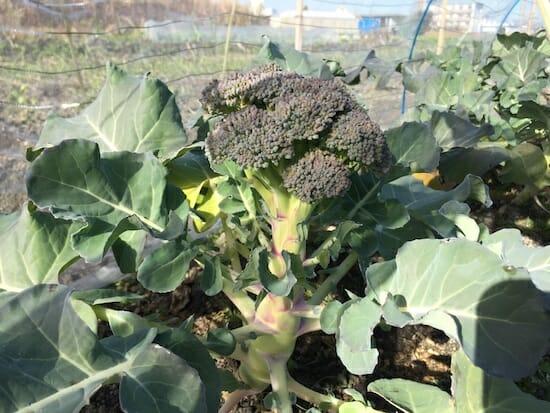 ブロッコリー栽培の様子