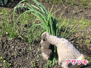 収穫したアサツキ(浅葱)