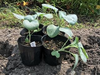定植期のカリフラワーの苗