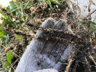 ラッカセイ(落花生)の根に付いている根粒菌